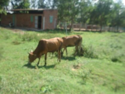 Không nuôi bò sữa được thì nuôi bò thịt cho các cụ hưu ăn!